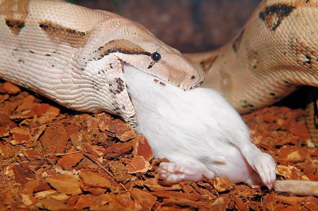 Ular memakan tikus