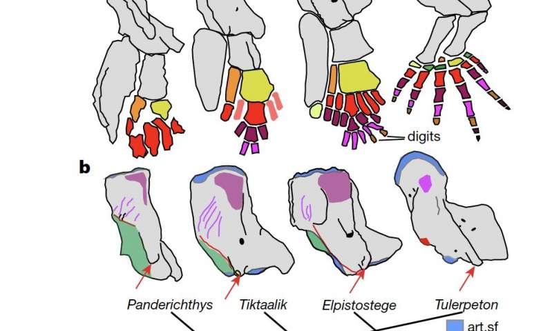 Evolusi dari sirip