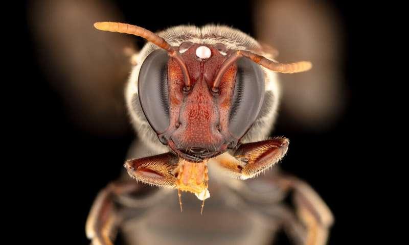Spesies lebah bertopeng (Meroglossa gemmata) dengan aktivitas mencari makan malam di Australia