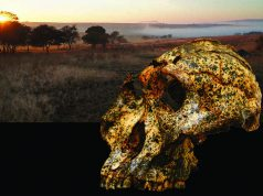 Paranthropus robustus Credit: Jesse Martin and David Strait