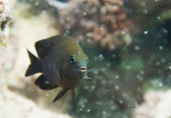 Ikan damsel sirip panjang. (Rohan Brooker)