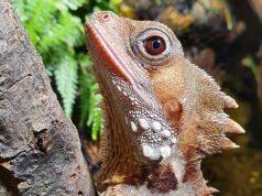 Naga hutan Boyd (Credit: SEA LIFE Aquarium.)