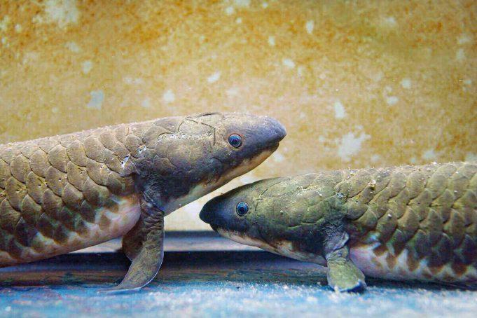 Lungfish Australia (Neoceratodus forsteri). (Haus des Meeres aquazoo)