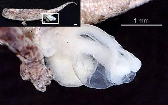 Alat kelamin Brookesia nana