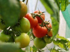 Tanaman Tomat