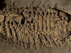 trilobita dalam pirit